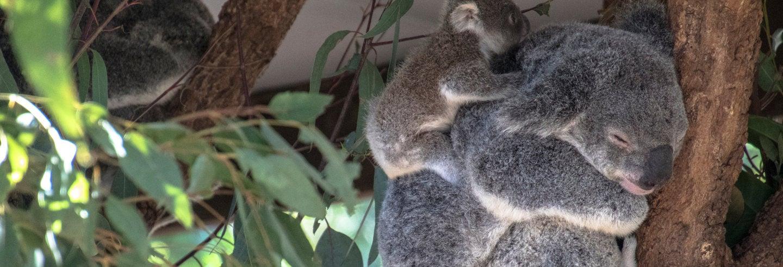 Paseo en barco + Santuario de koalas