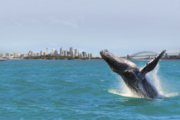 Whale jumping off the coast of Sydney