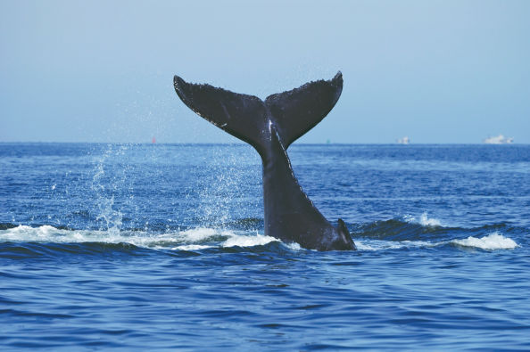 Whale tail fin