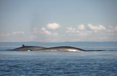Avistamiento de ballenas en Quebec