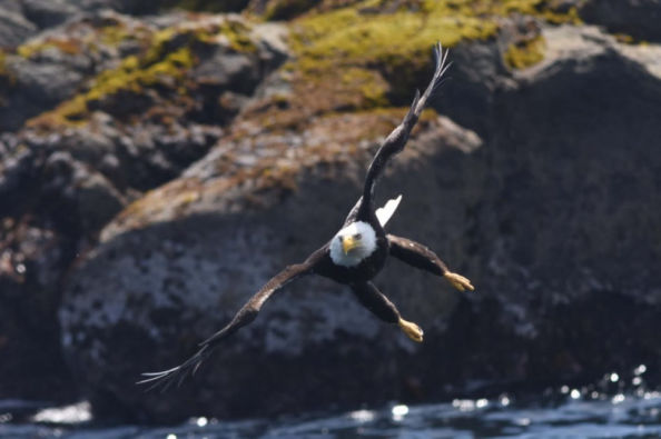 Bald eagle spotted from the boat