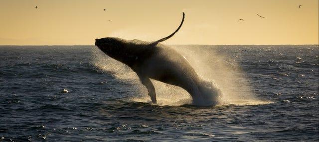 Observation de baleines au coucher de soleil
