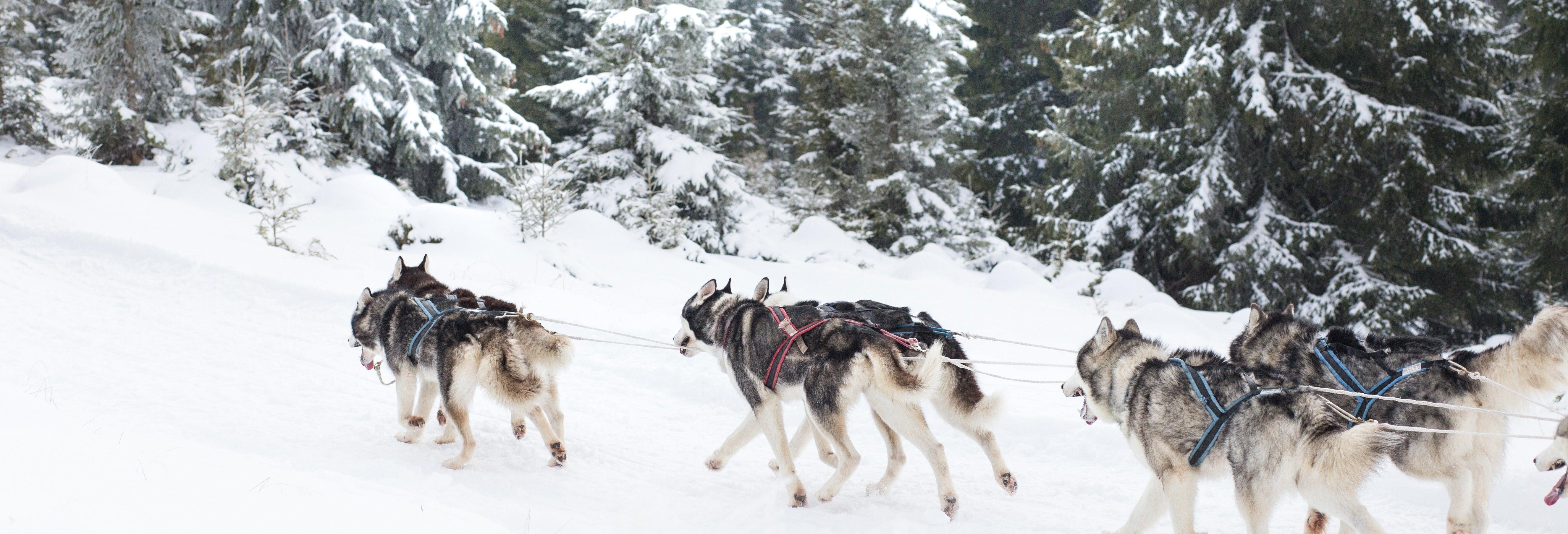 Paseo en trineo de perros husky