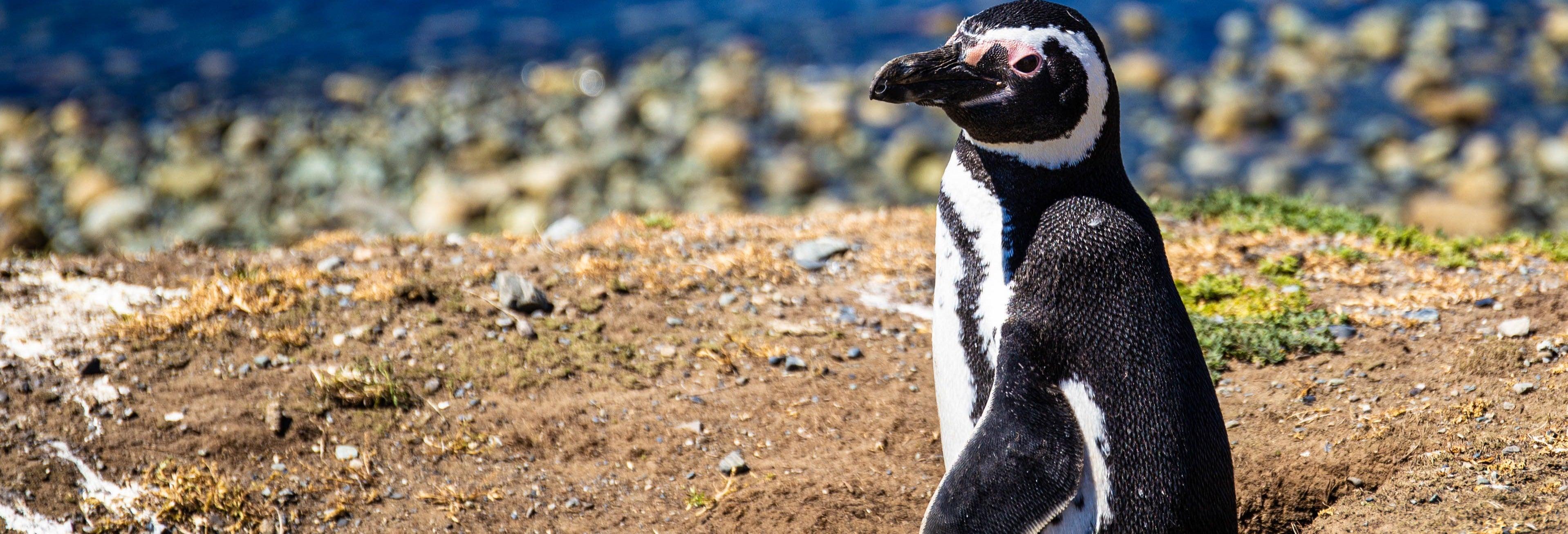 Avistamiento de pingüinos en la isla Cachagua