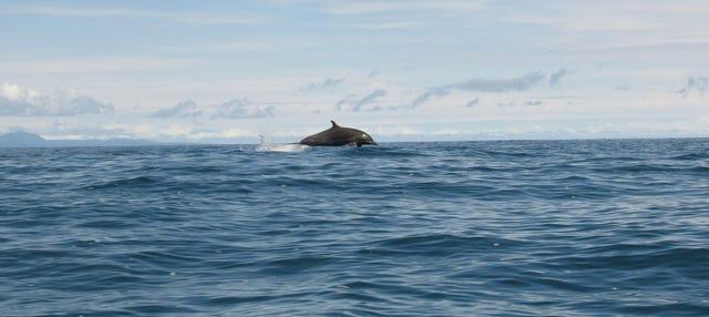 Avistamiento de cetáceos en la isla Chañaral