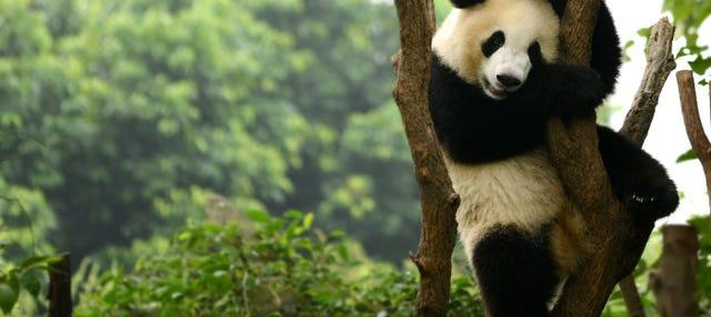 Tour privado por Chengdú y la Reserva de Pandas
