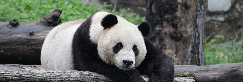 Voluntariado en la reserva de pandas de Dujiangyan