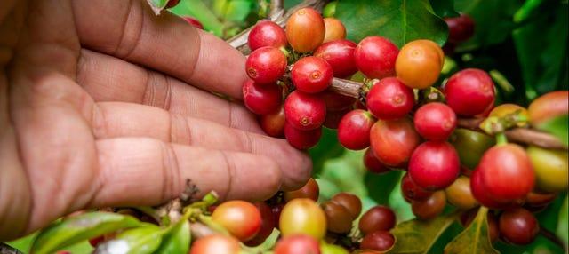 Excursión a los cafetales colombianos
