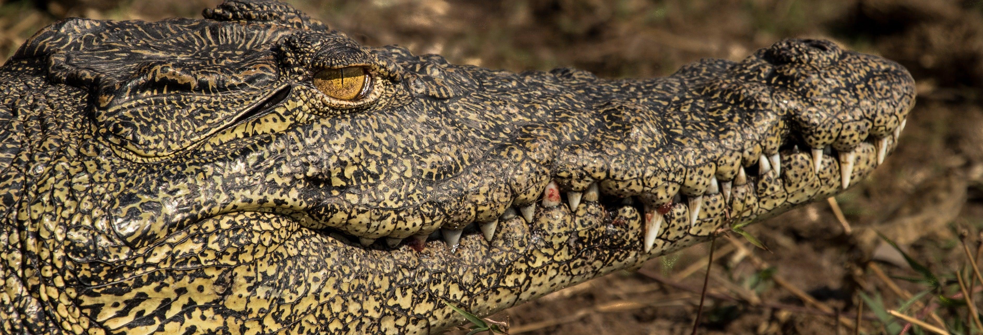 Safari di coccodrilli nella selva tropicale