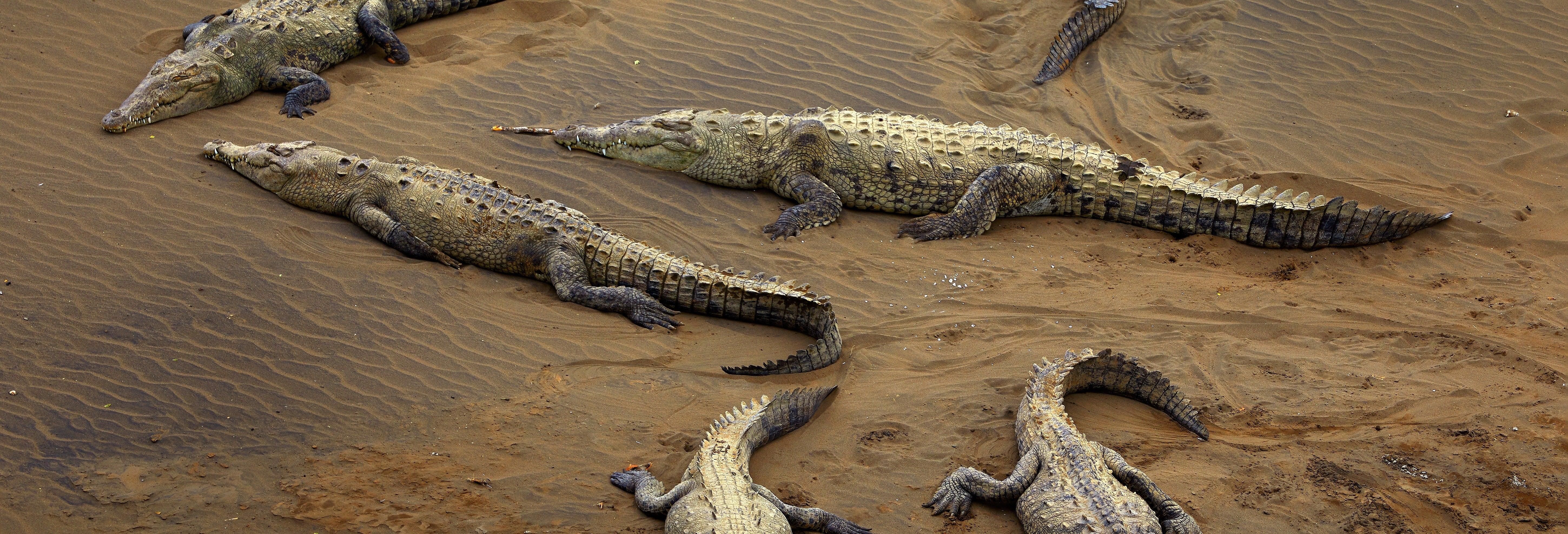 Avvistamento di coccodrilli sul fiume Tárcoles
