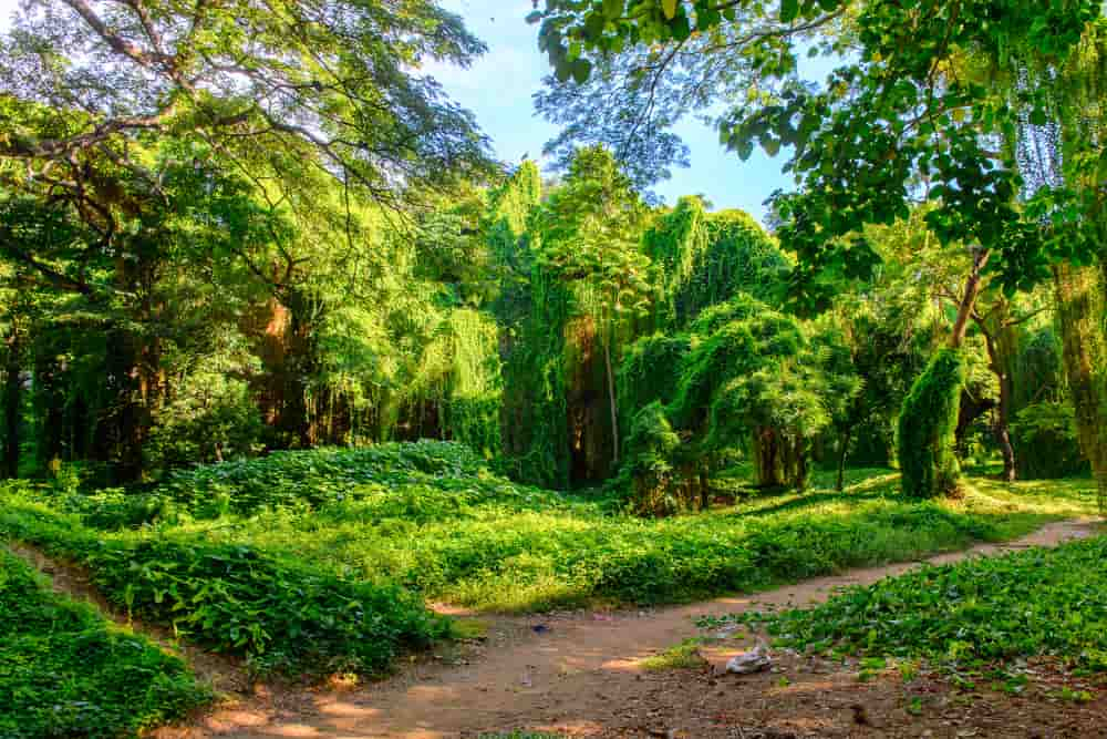 Tropical trees in Havana's enchanted forest