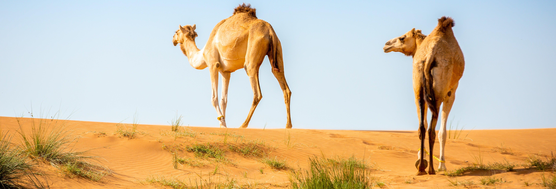 Desert Safari et visite d'une ferme de chameaux
