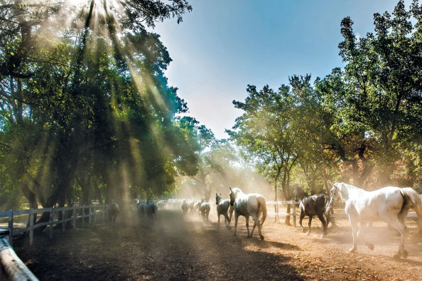 Horses in Lipica