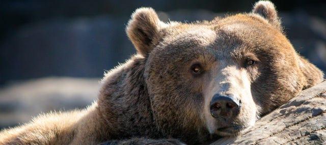 Avistamiento del oso pardo en el Parque Montaña Palentina