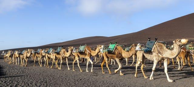 Paseo en camello por Timanfaya