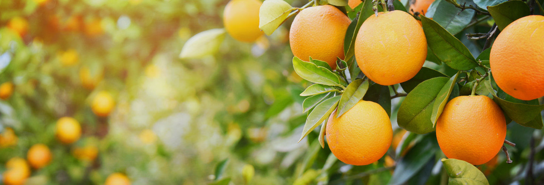 Tour por una finca de naranjos de Carcagente