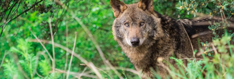 Avistamento de lobos na Serra da Capelada