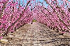 Tour de la floración de Cieza