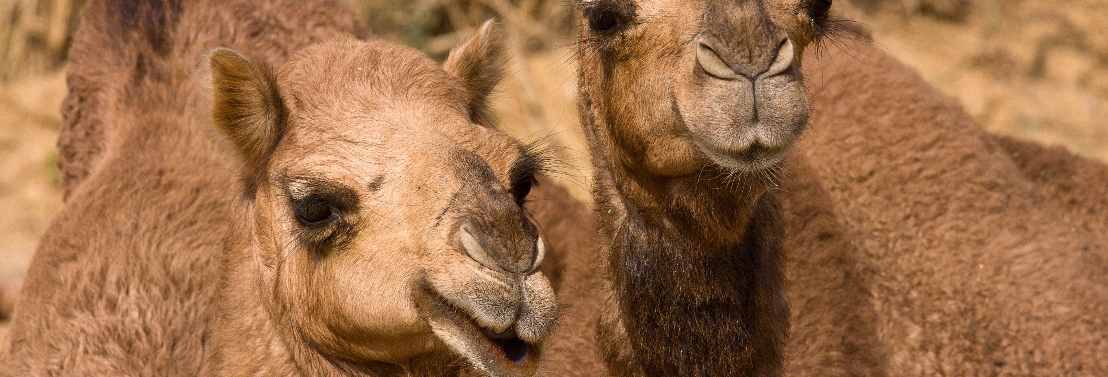 Passeio de camelo por El Tanque