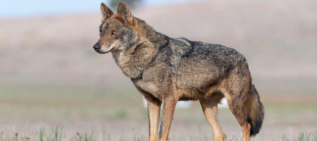 Avistamiento de lobo ibérico en Asturias