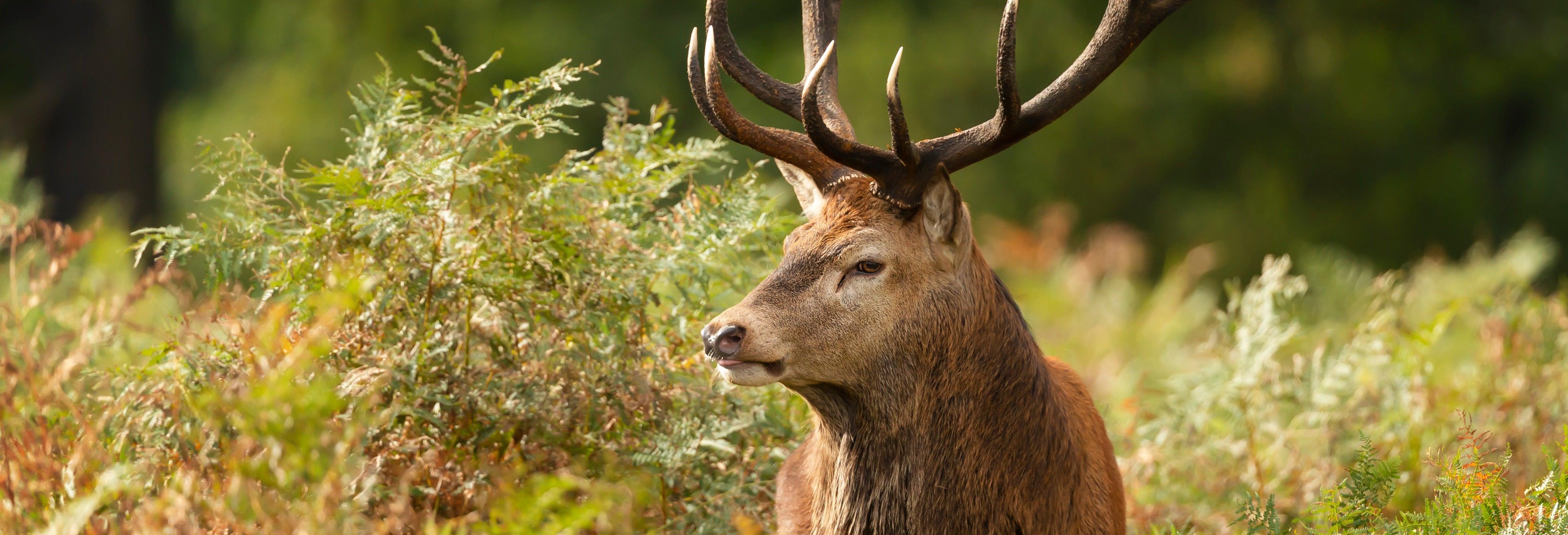 Brama do cervo no Alto Pireneu