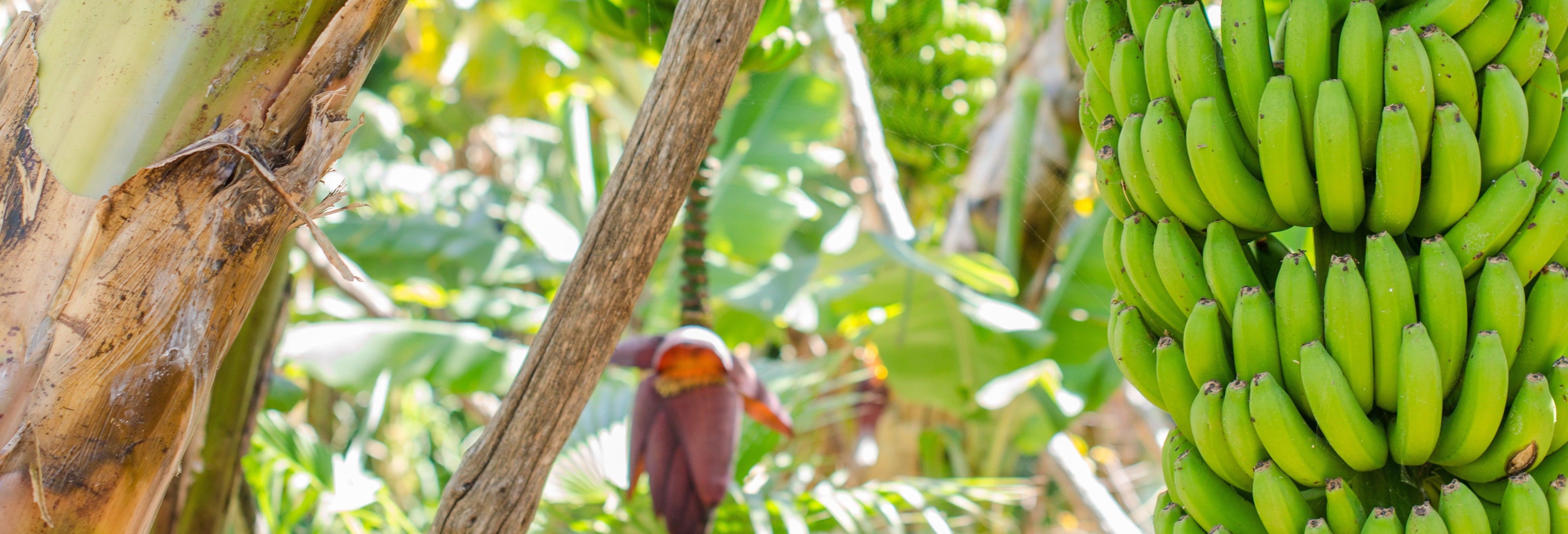 Visita a una finca de plátanos de La Orotava