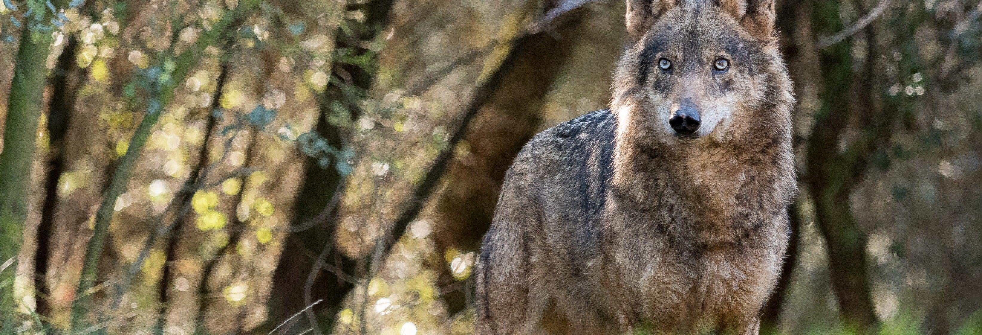 Iberian Wolf Sighting
