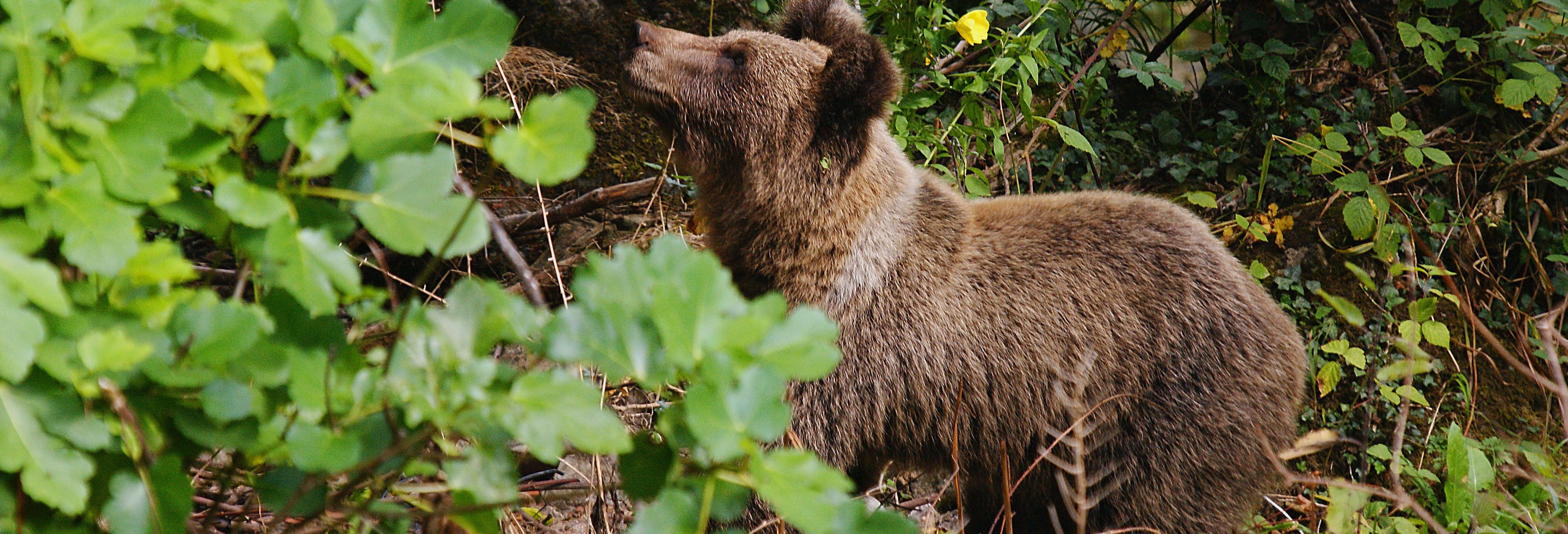 Cantabrian Brown Bear Sighting