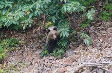 Avistamiento de oso pardo cantábrico en Asturias