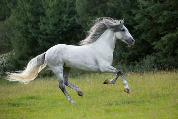 Pure breed horse