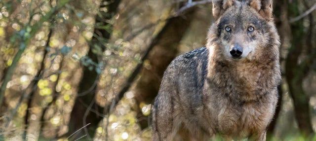 Avistamiento de lobos en la Montaña Palentina