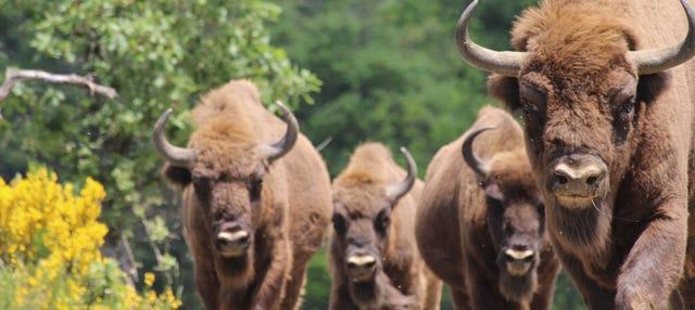 Tour por el Centro de Interpretación del Bisonte Europeo
