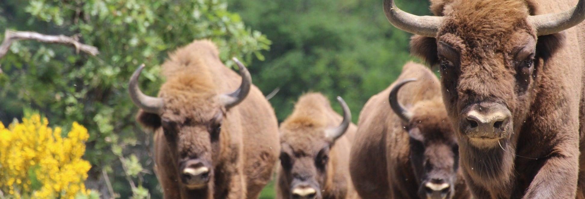Tour pelo Centro de Interpretação do Bisonte Europeu