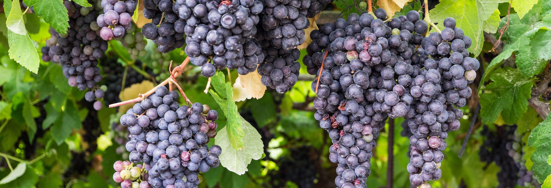 Tour de vinho + La Orotava e Puerto de la Cruz