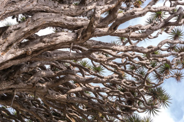 Detail of the Drago tree