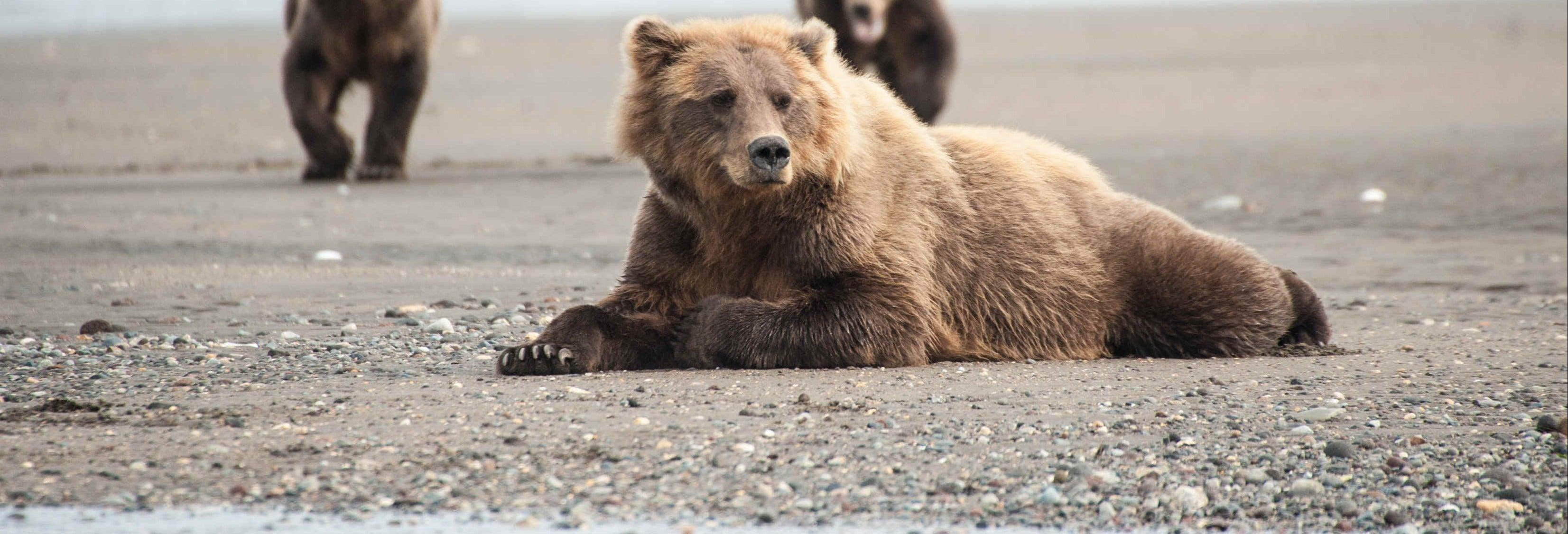 Avvistamento di orsi grizzly
