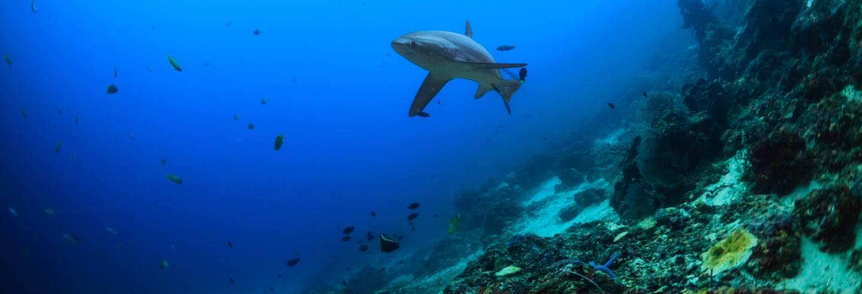 Buceo con tiburón zorro en Malapascua