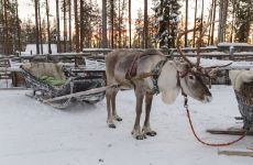 Giro in slitta trainata da renne sotto l'aurora boreale