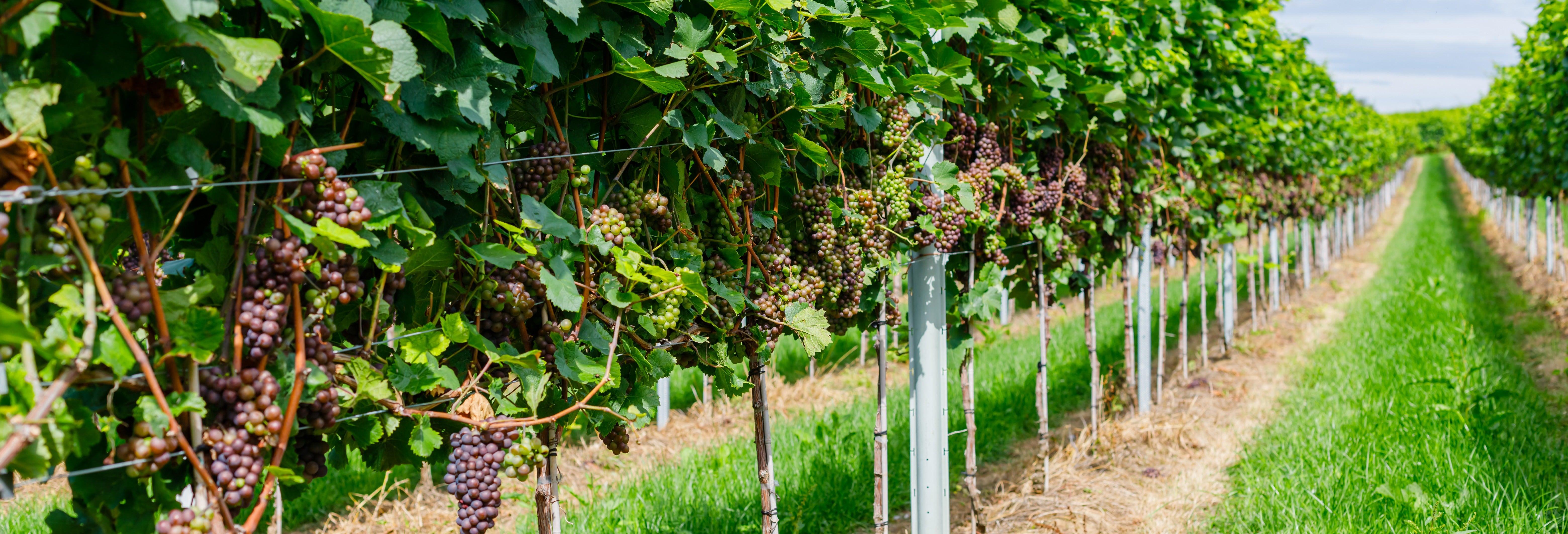 Rota do vinho pela Alsácia