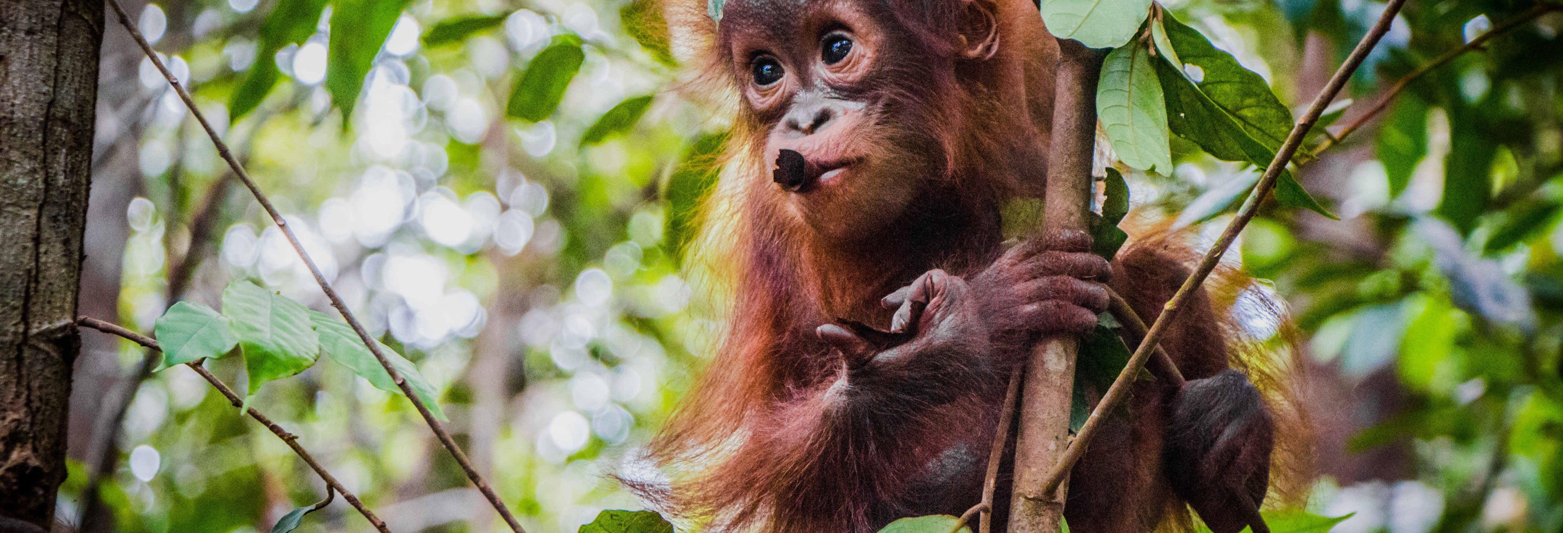 Crucero privado por Borneo en español con avistamiento de orangutanes