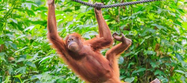Crucero privado por Borneo con avistamiento de orangutanes