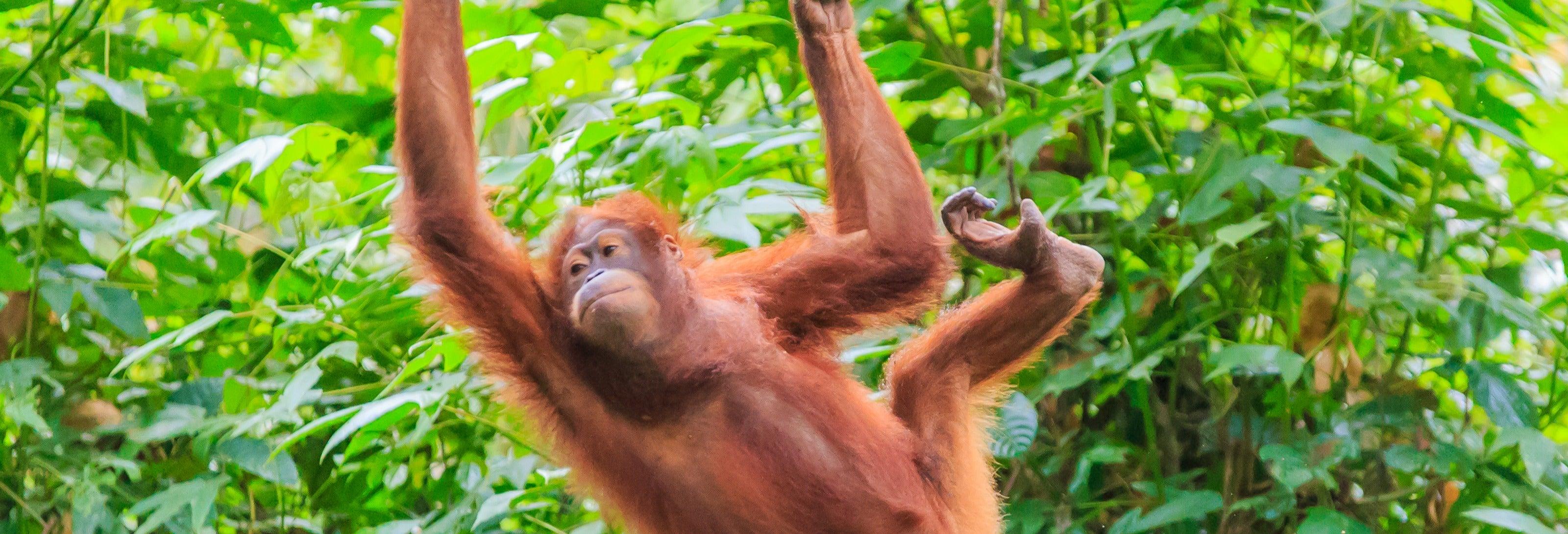 Cruzeiro privado por Bornéu com avistamento de orangotangos