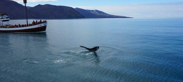 Avvistamento di balene a Húsavík