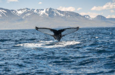 Avistamiento de ballenas en lancha rápida