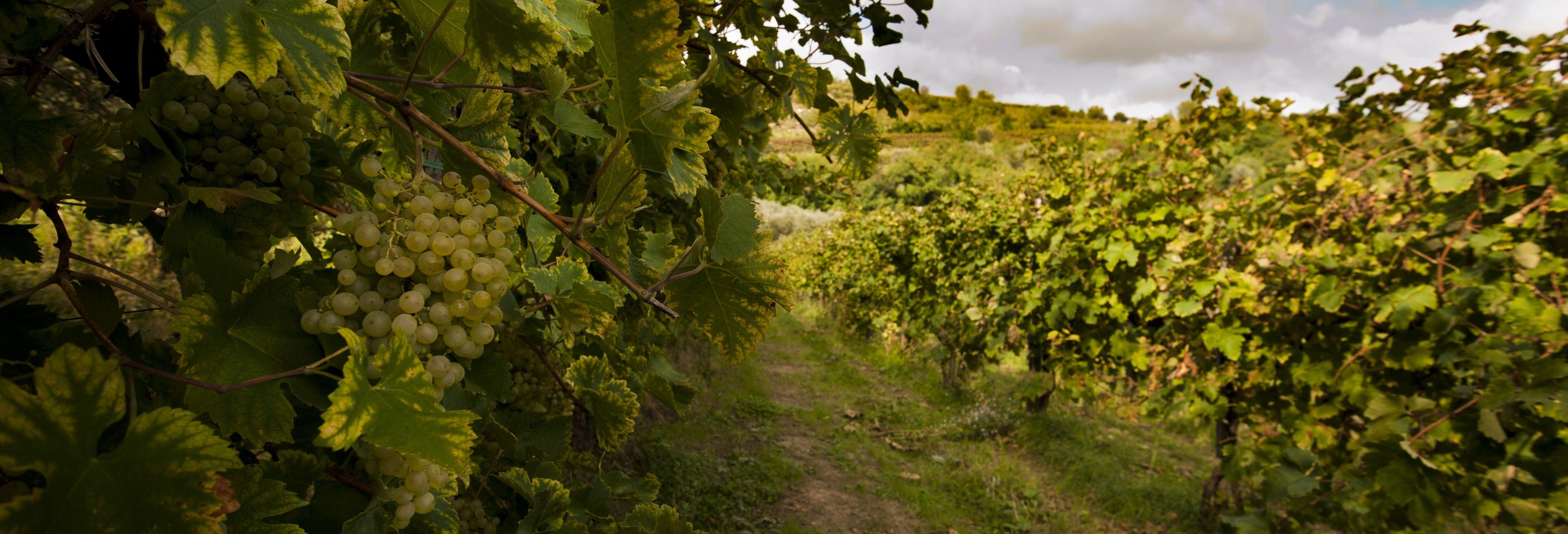 Tour por los viñedos de Prosecco