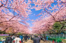 Cherry Blossom & Sumida River Cruise