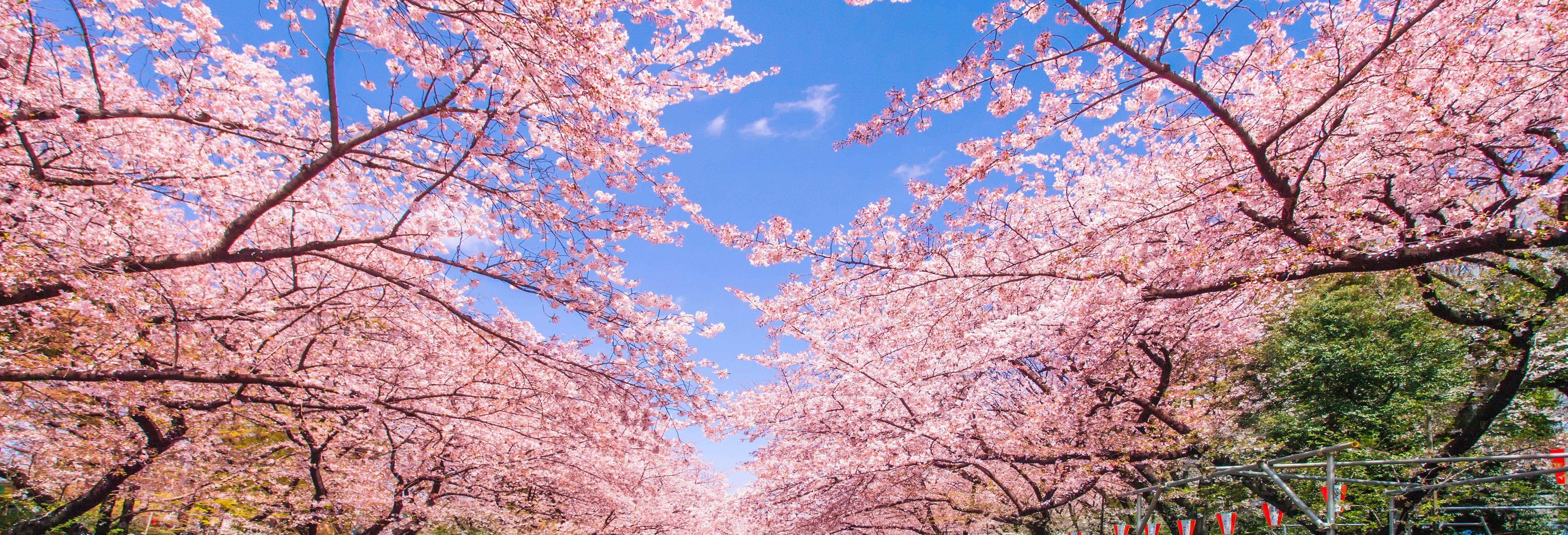 Cerejeiras em flor + Passeio de barco pelo rio Sumida