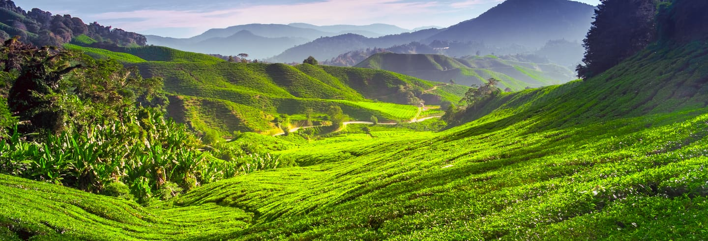 Excursion dans les Cameron Highlands