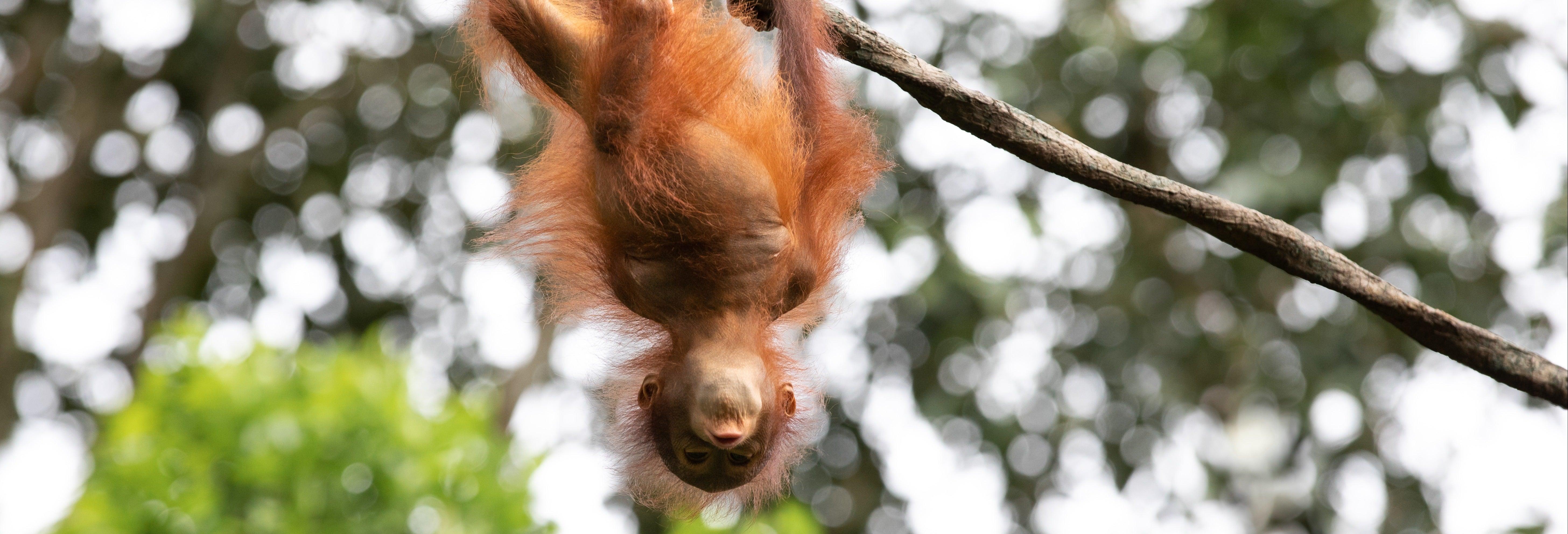 Semenggoh Wildlife Centre + Santuario di coccodrilli