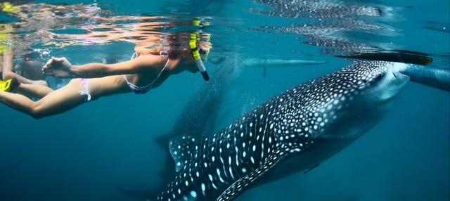 Snorkel con tiburones ballena y mantarrayas